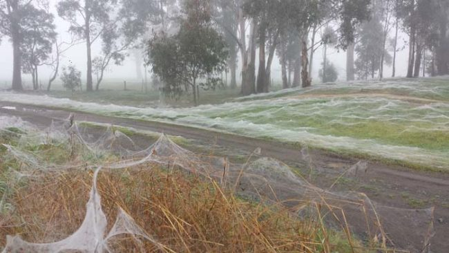 Fields and forests all around rural Victoria are full of these frost-like spider webs.