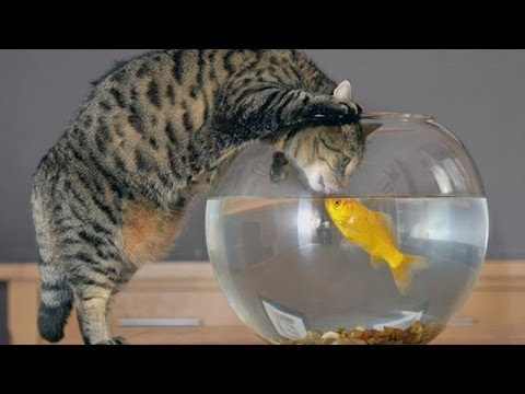 Funny cats vs fish tanks cute cat compilation funny for Fish videos for cats