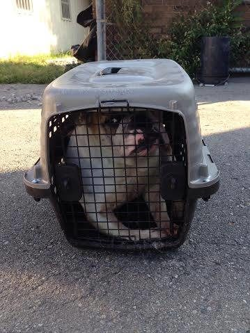 Sarah's owner had stuffed her into a cat crate and she was crying in agony when Parran found her.