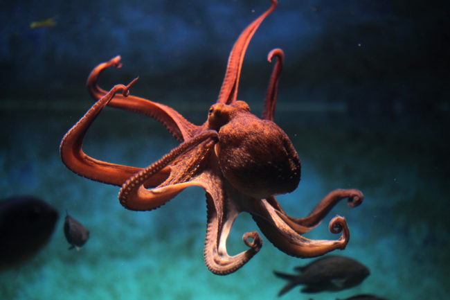 Octopuses have three hearts.