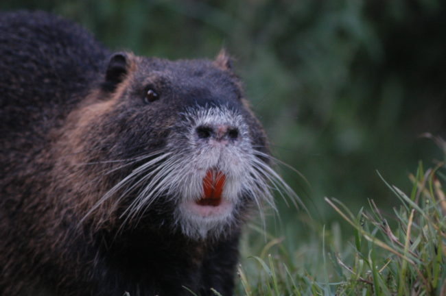 So what is a river rat? It's actually a huge rodent called the coypu.