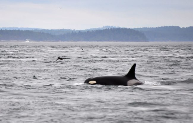 "Granny the Orca is the <a href=""https://en.wikipedia.org/wiki/Granny_(orca)#/media/File:Granny_Orca.jpg"" target=""_blank"">oldest killer whale</a> in the world. She was born in 1911 and is 105 years old."