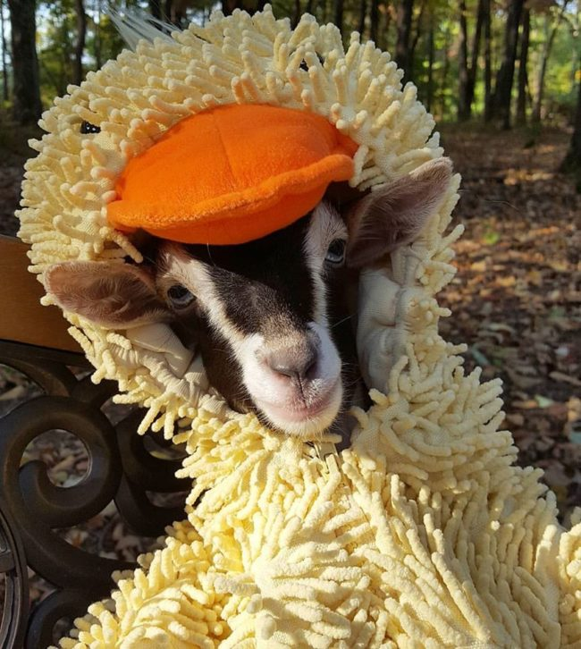 When she bought a child's duck costume for her baby goats, she had no idea that it would be the answer Polly's anxiety.