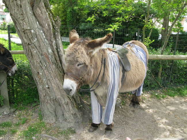 To stop mosquitoes and other bugs from biting their legs on the job, their owners made pants out of old fabric and put them on the donkeys every day  before they started working.