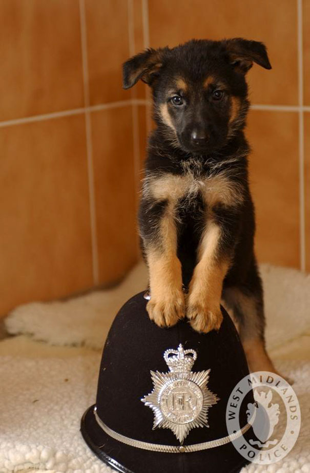 7 Weeks Old Police Puppy